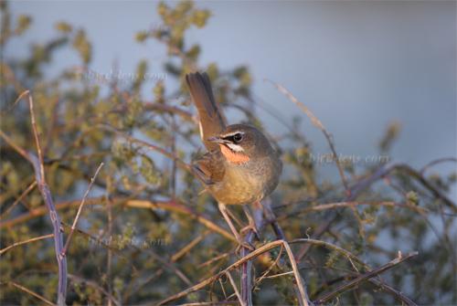 Siberian Rubythroat | Bird Lens