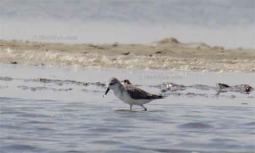 Spoonbill Sandpiper