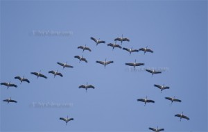 Common Cranes flying over