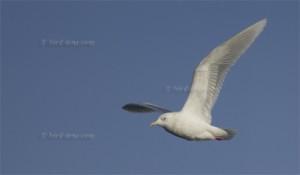 Kumlien's Gull (Larus glaucoides kumlieni)