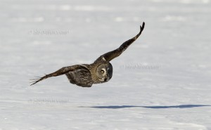 Great Grey Owl low over snow