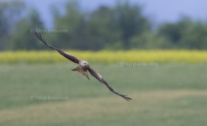 Red Kite low over fields