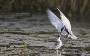 Whiskered Tern feeding young with fish