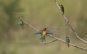 European Bee-eater at branch