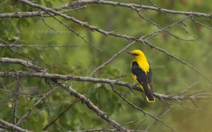Eurasian Golden-Oriole, male