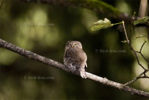 Eurasian Pygmy-Owl
