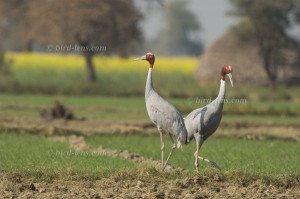 Sarus Crane, pair on field