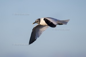 Sabine´s Gull adult