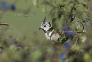 Crested Tit, resting in sloe