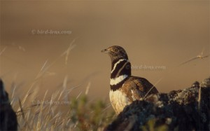 Littel Bustard male in display