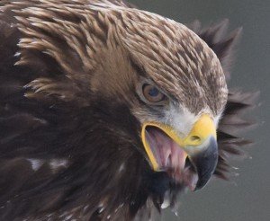100% crop of Golden Eagle at bait