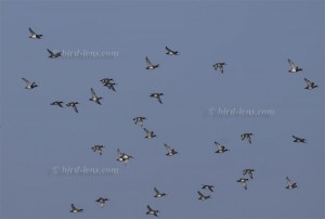 Great Scaup, flock in flight