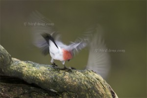 Bullfinch with wings up