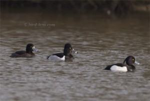 Ring-necked Duck betwenn Tufted Ducks