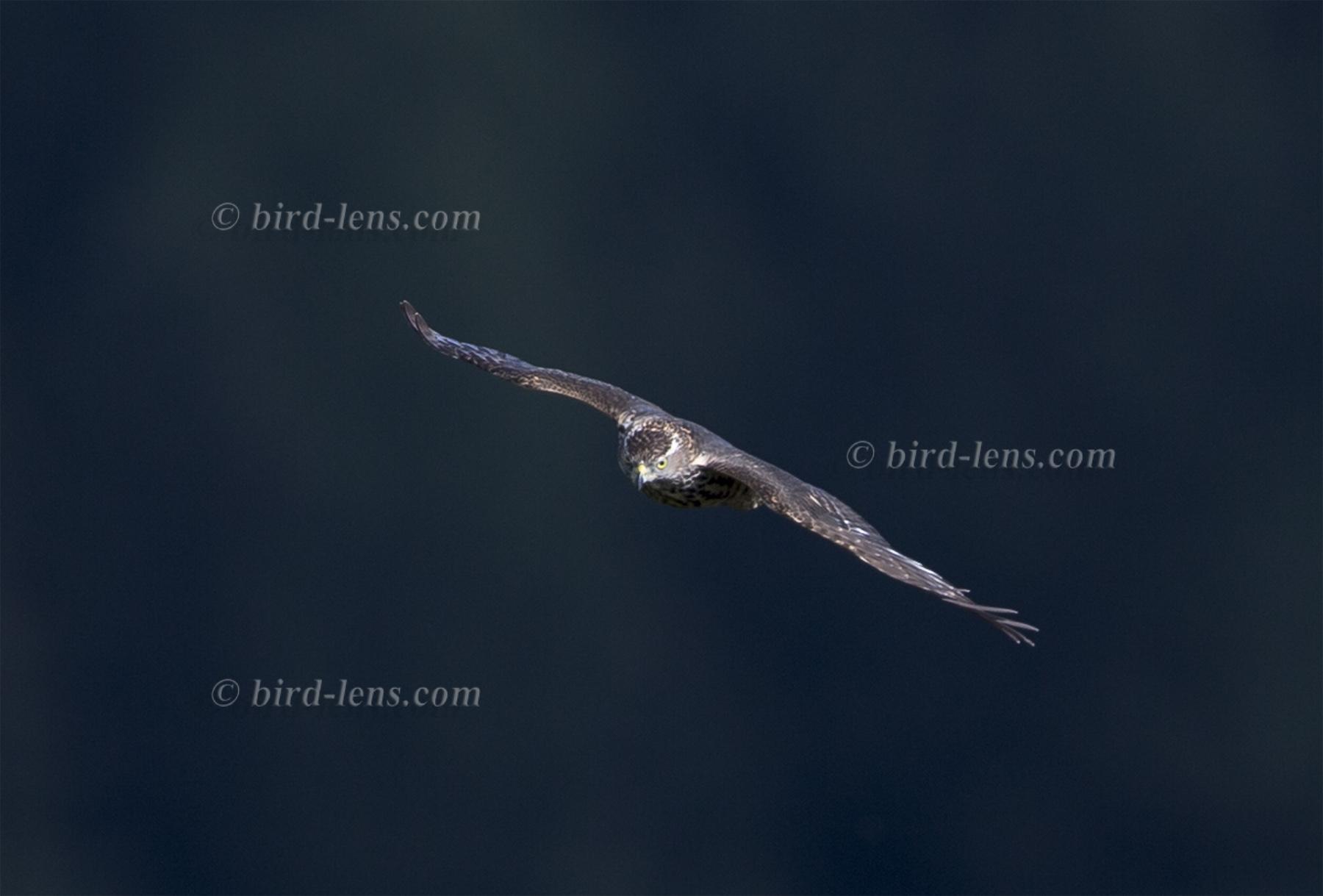 schwarzer vogel mit grauem nacken