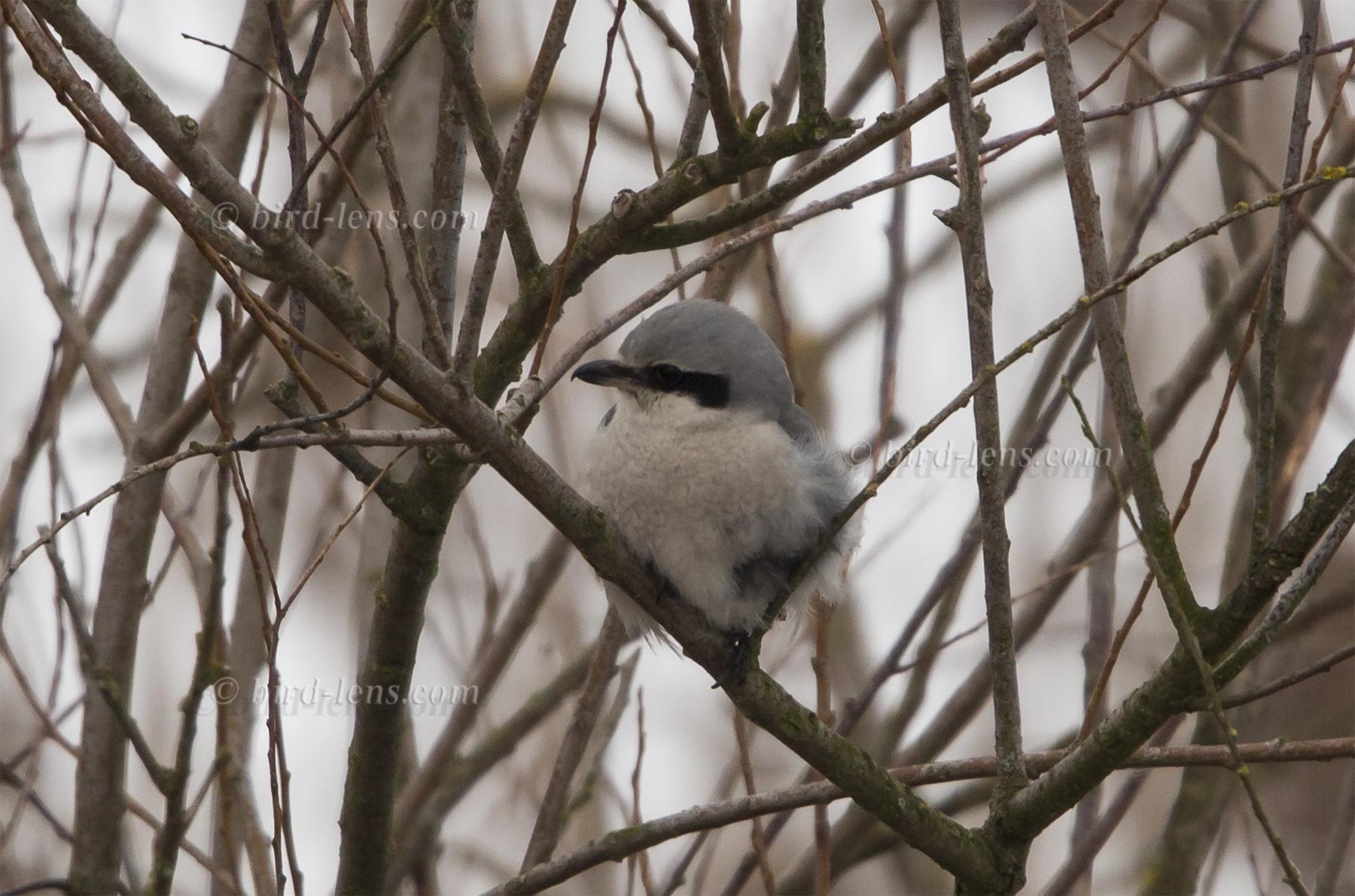 Raubwürger | Bird Lens