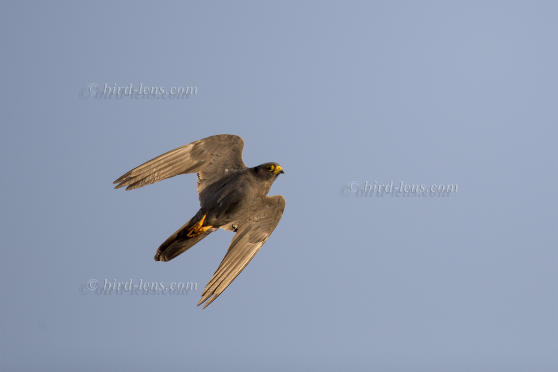 Sooty Falcons Killers On The Islands Of Red Sea