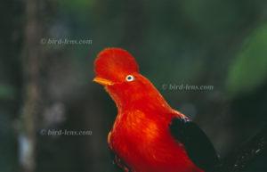 Andenklippenvogel oder Andenfelsenhahn