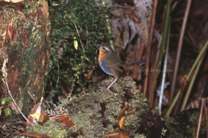 Rotkehltapaculo