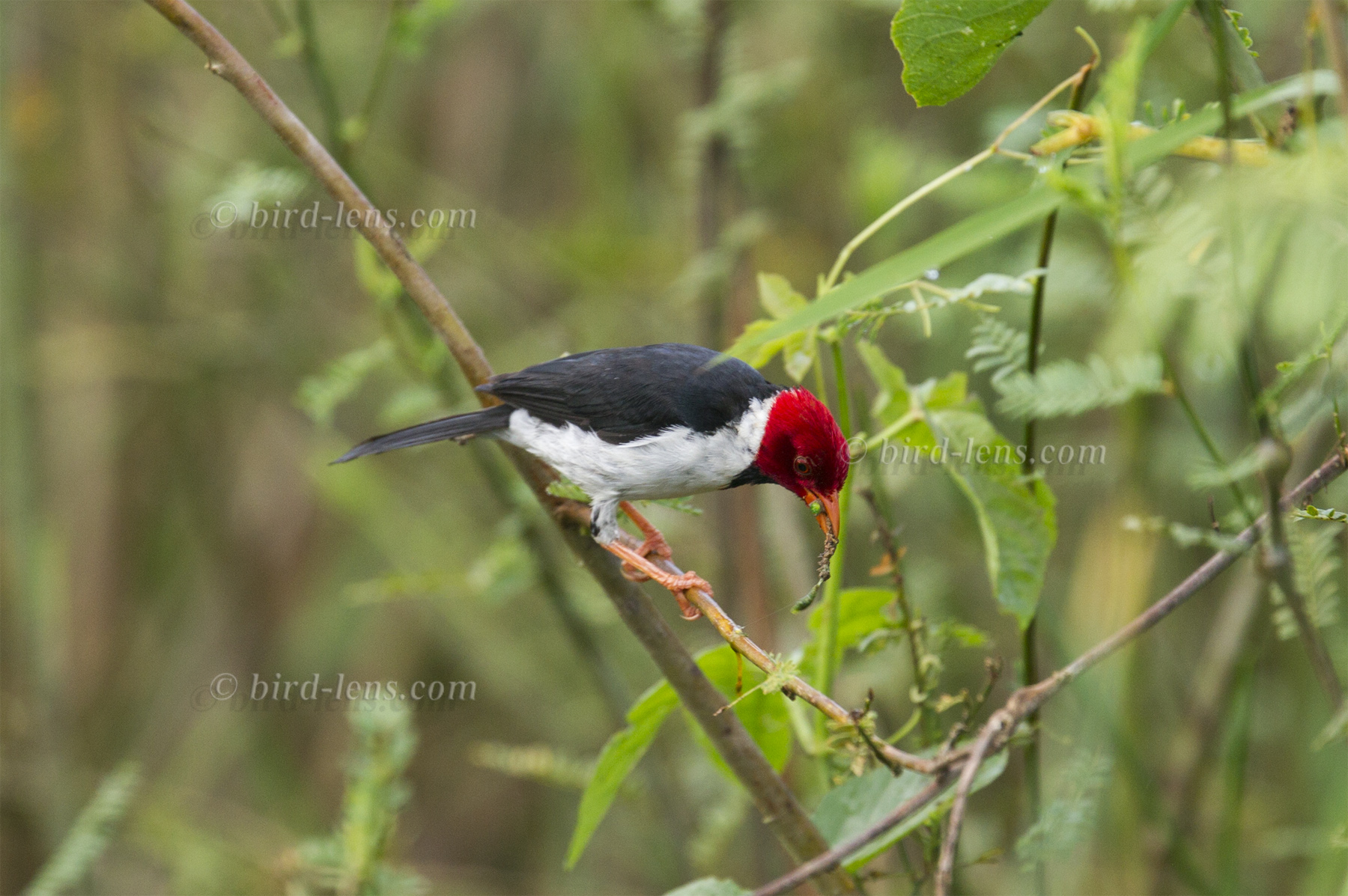 yellow billed cardinal in pantanal bird lens
