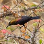 Kupfernektarvogel