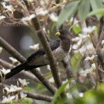 Schwarzschwanz-Lärmvogel