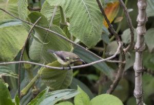 Bouviernektarvogel