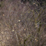 Buchfink und Bergfinken