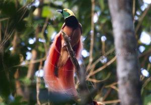 Raggiparadiesvogel
