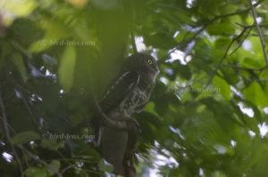 Kapkauz, Etchécopar's Owlet