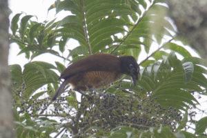 Blaunacken-Paradiesvogel