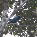 Blauparadiesvogel