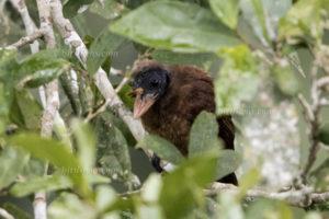Borstenbartvogel