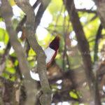 Königsparadiesvogel