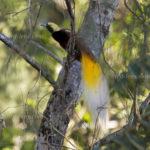 Kleiner Paradiesvogel