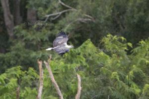 Weißbauch-Seeadler